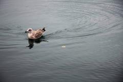 Anatra sul fiume Immagini Stock