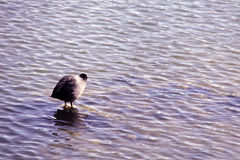 Anatra sul fiume Fotografie Stock Libere da Diritti
