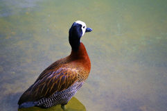 Anatra sul lago Immagini Stock