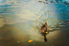 Anatra sul lago Fotografia Stock