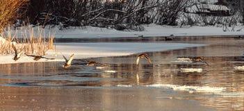 Anatra sul lago fiume congelato, canne di mattina mistEarly s Immagine Stock Libera da Diritti