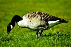 Anatra sull'erba verde fotografia stock