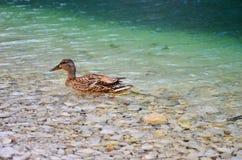 Anatra sulla mattina del lago Fotografie Stock