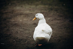 Anatra sveglia che cammina nel primo piano dell'iarda, sta bianco dell'azienda agricola dell'uccello dell'anatra Immagine Stock