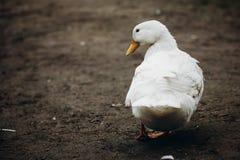 Anatra sveglia che cammina nel primo piano dell'iarda, sta bianco dell'azienda agricola dell'uccello dell'anatra Fotografia Stock