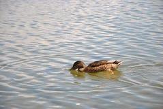 Anatra in un'acqua Immagine Stock Libera da Diritti