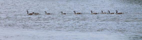 Anatra in una fila sul lago Fotografia Stock