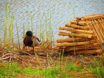 Anatra una il lago Fotografie Stock Libere da Diritti