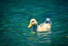 Anatra vicino al lago Immagini Stock Libere da Diritti