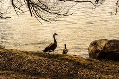 Anatre accanto ad un lago nell'ambito del tramonto Immagini Stock Libere da Diritti