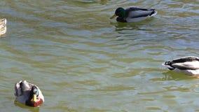 Anatre in acqua stock footage