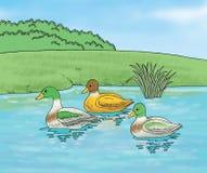 Anatre in acqua Illustrazione di Stock