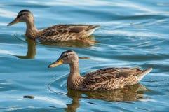 Anatre in acqua Fotografia Stock