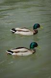 Anatre in acqua Fotografia Stock Libera da Diritti