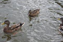 Anatre in acqua immagini stock
