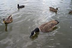 Anatre in acqua Fotografie Stock Libere da Diritti