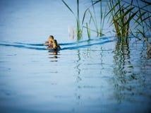 Anatre in acqua blu Fotografia Stock