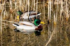 Anatre in acqua del lago Fotografia Stock Libera da Diritti