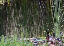 Anatre allo stagno in California Fotografia Stock Libera da Diritti