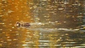 Anatre allo stagno con le riflessioni su acqua e sul galleggiamento autunnale delle foglie video d archivio