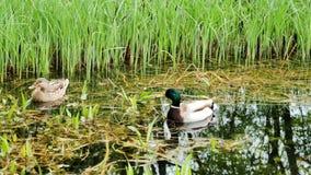 Anatre allo stagno con le riflessioni su acqua e sul galleggiamento autunnale delle foglie archivi video