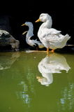 Anatre bianche che prendono sunbath Fotografia Stock Libera da Diritti
