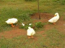 3 anatre bianche di colore nel giardino Immagini Stock