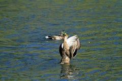 Anatre che agitano le loro ali in acqua Fotografia Stock