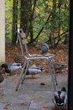 Anatre che cercano un sedile Fotografie Stock Libere da Diritti