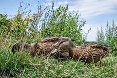 Anatre che foraggiano nell'erba Fotografie Stock