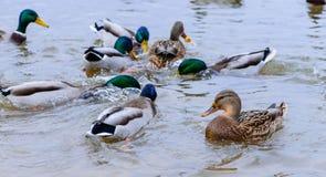 Anatre che galleggiano nell'acqua, alimentante le anatre Immagini Stock