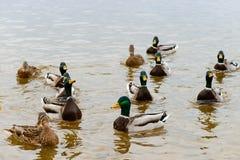 Anatre che galleggiano nell'acqua, alimentante le anatre, pane in becco HU Fotografie Stock Libere da Diritti