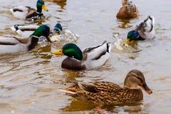 Anatre che galleggiano nell'acqua, alimentante le anatre, pane in becco HU Immagini Stock