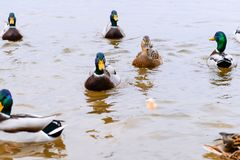 Anatre che galleggiano nell'acqua, alimentante le anatre, pane in becco HU Immagini Stock Libere da Diritti