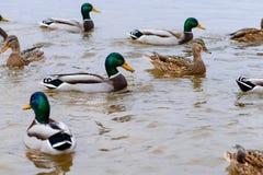 Anatre che galleggiano nell'acqua, alimentante le anatre, pane in becco HU Fotografia Stock Libera da Diritti
