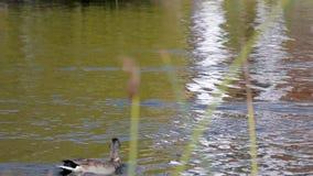 Anatre che galleggiano nello stagno stock footage