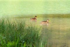 Anatre che galleggiano sul lago Pillersee, priorità alta dell'erba, Austria Immagini Stock