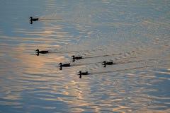 Anatre che galleggiano sull'acqua, siluette delle anatre al tramonto Immagini Stock