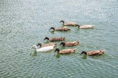 Anatre che godono dell'estate sul lago fotografia stock