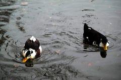 Anatre che nuotano Fotografie Stock