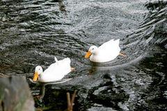 Anatre che nuotano Immagini Stock Libere da Diritti