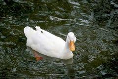 Anatre che nuotano Fotografia Stock Libera da Diritti