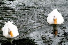 Anatre che nuotano Fotografie Stock Libere da Diritti