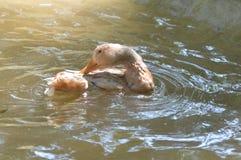 Anatre che nuotano Immagine Stock