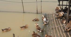 Anatre che nuotano Fotografia Stock