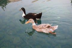 Anatre che nuotano in acqua Fotografia Stock