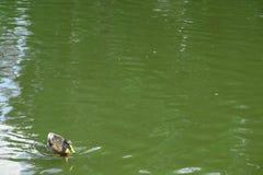 Anatre che nuotano in acqua del lago del parco Immagini Stock Libere da Diritti