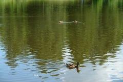 Anatre che nuotano in acqua del lago del parco Fotografia Stock Libera da Diritti