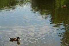 Anatre che nuotano in acqua del lago del parco Fotografie Stock