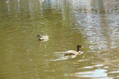 Anatre che nuotano in acqua del lago del parco Fotografie Stock Libere da Diritti